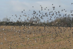 Wood pigeon shooting activities to try in the off-season