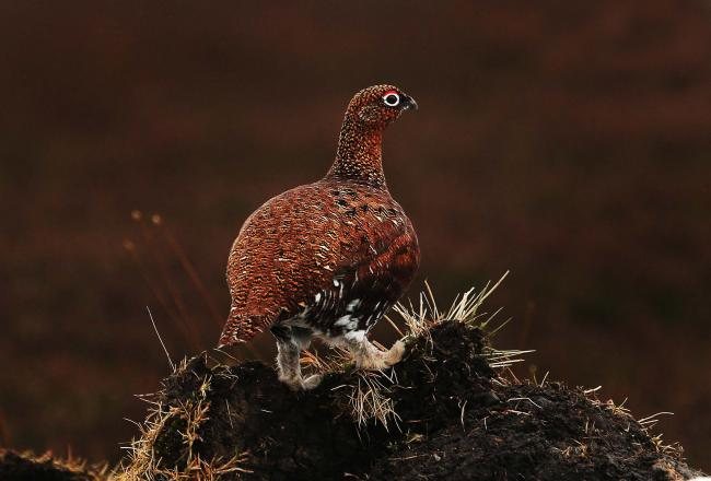 first grouse