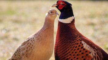 British game birds