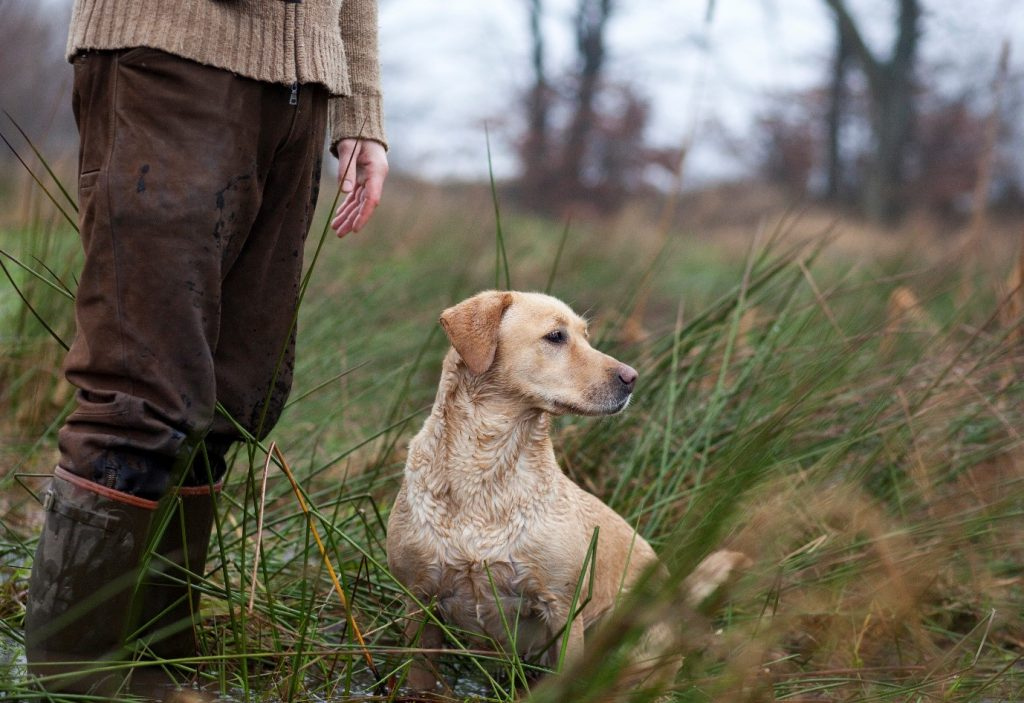 how to train a gun dog
